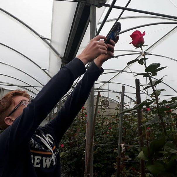 Farm Rose