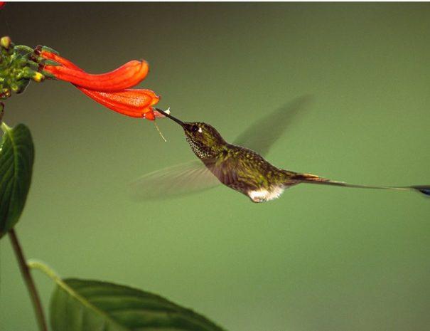 Humingbird Mindo